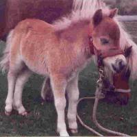 Oaklea Miniature Horses