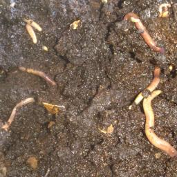 Tiger Worms For Worm Farming Neighbourly Houghton Bay Wellington