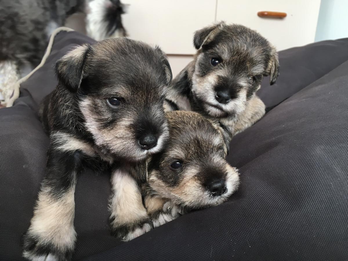 Miniature Schnauzer Puppies For Sale Neighbourly Woolston Christchurch